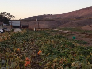 The big farm with pumpkins, corn, and grapevines.