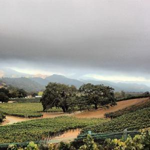 Grapevines in Santa Barbara County