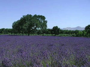 Lavender fields in Solvang, Ca.