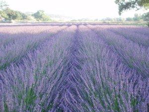 Lavender fields in Paso Roblos off Hwy 101 North of San Luis Obispo.